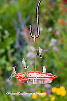 01162-12503<br /> Ruby-throated Hummingbirds (Archilochus colubris) at feeder by flower garden, Marion Co.  IL
