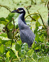 Adult yellow-crowned night-heron washing down crayfish lunch with a drink of pond water