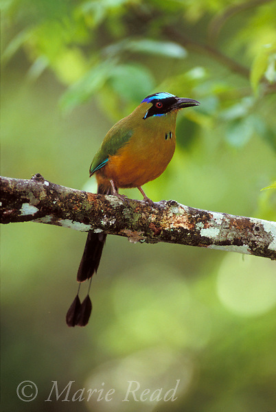 Blue-crowned Motmot (Momotus momota), adult showing its racquet-tipped tail, Gamboa, Panama  <br /> Slide # B83-21