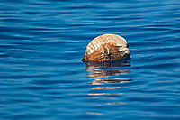 Coconut drifting in open ocean, Cocos nucifera, off Kona Coast, Big Island, Hawaii, Pacific Ocean