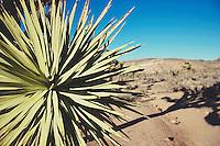 Yucca at at Joshua Tree National Park
