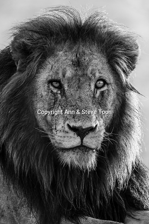 Lion (Panthera leo), Kruger national park, South Africa, May 2017