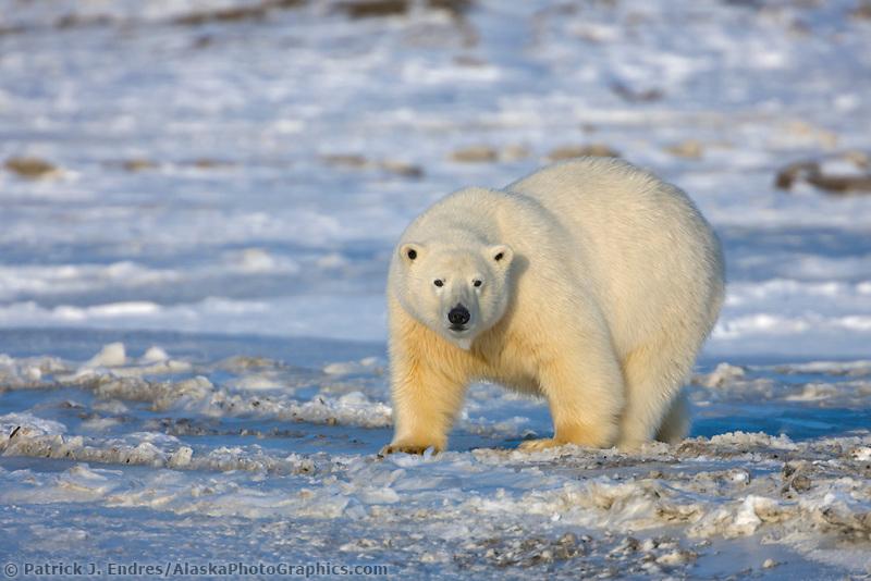 Polar bear walks on the sea ice forming on the Beaufort Sea, Arctic National Wildlife Refuge, Alaska.
