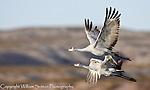Sandhhill cranes, Bosque del Apache National Wildlife Refuge, New Mexico.