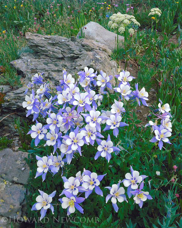 Beautiful group of Colorado Columbines high in the alpine setting of Yankee Boy Basin.