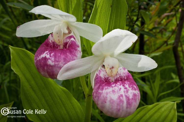 Showy Lady's Slippers (Cypripedium reginae) in Hartland, VT, USA