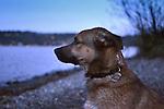 Roland, mixed shepherd at dusk along Lake Washington.