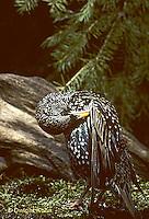 BL03-005z  Starling - winter plumage, preening - Sturnus vulgaris