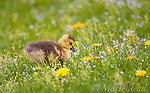Canada Goose (Branta canadensis), gosling amid flowers on a lawn in spring, New York, USA