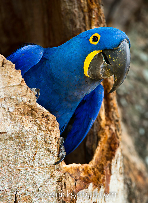 Hyacinth Macaw (Anodorhynchus hyacinthinus) at nest hole, in forest bordering of the Cuiaba River, Northern Pantanal, Brazil.