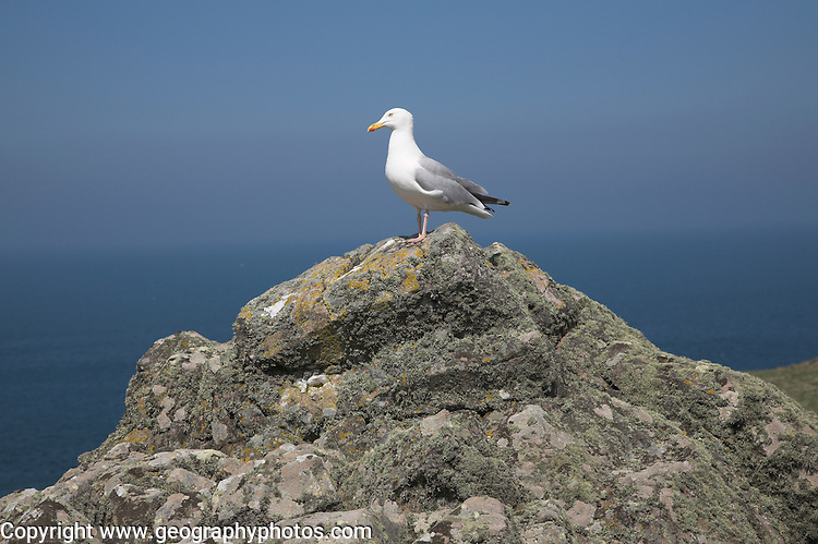 Seagull Skomer Island, Pembrokeshire, Wales