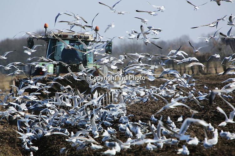 Foto: VidiPhoto..SCHAIJK - Honderden meeuwen cirkelen dinsdag rond en achter de ploeg van loonwerker P. Loeffen uit het Brabantse Schaijk. Meer dan normaal vaak het geval is. Door de aanhoudende kou is er ook voor de meeuwen weinig te vreten en is iedere worm welkom. Boeren en loonwerkers kunnen door de nachtvorst pas tegen de middag ploegen, als de vorst uit de grond is. Dankzij het aanhoudende winterweer loopt het werk op het land sowieso een maand achter. Loonbedrijven hebben het daarom nu drukker dan ooit..