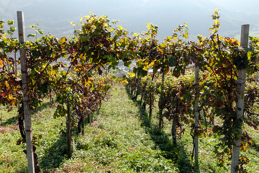 Vigneti pronti per la vendemmia. Valtellina, 15 settembre, 2007<br /> <br /> Vineyards ready for grape harvest. Valtellina, September 15, 2007