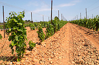 marselan recently planted vines sandy soil vineyard mas du notaire rhone france