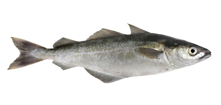 Saithe Pollachius virens Length to 75cm<br /> Northern cousin to Pollack, found on rocky coasts. Adult is dark greenish-black above, paler on sides and below. Lower jaw is only slightly longer than upper; barbel is absent. Has 3 dorsal fins and 2 anal fins. Widespread and generally common in N; scarce in SW, absent from SE