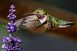 Broad-tailed Hummingbird, Selasphorus platycercus, drinks from flower in Grand Lake, Colorado