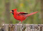 Bird, Northern Cardinal, Male, Taking Flight, Cardinalis cardinalis