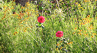 Two red roses surrounded with plants of tiny sunflowers