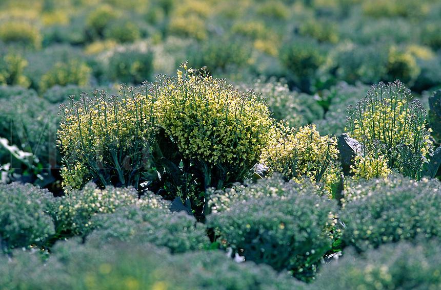 Broccoli plants grown for seed - Salinas Valley, California