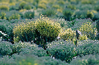 Broccoli plants grown for seed - Salinas Valley, California