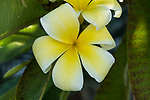 Flowers of the Plumeria or Frangipani Tree, Genus Plumeria.   The trees are native to tropical Mexico and Central and South America, as well as Hawaii, where the flowers are used to make leis.