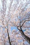 Yoshino Cherry blossoms at the Arnold Arboretum in Jamaica Plain, Boston, Massachusetts, USA