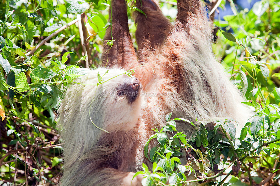 A two-toed sloth hangs from a branch in Costa Rica.