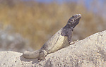 Chuckwalla (Sauromalus obesus) basking in the sun, California, USA