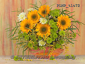 Marek, FLOWERS, BLUMEN, FLORES, photos+++++,PLMPTLO72,#f# sunflowers