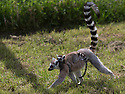 16/05/16<br /> <br /> &quot;Do you have to go so fast?&quot;<br /> <br /> Three baby ring-tail lemurs began climbing lessons for the first time today. The four-week-old babies, born days apart from one another, were reluctant to leave their mothers&rsquo; backs to start with but after encouragement from their doting parents they were soon scaling rocks and trees in their enclosure. One of the youngsters even swung from a branch one-handed, at Peak Wildlife Park in the Staffordshire Peak District. The lesson was brief and the adorable babies soon returned to their mums for snacks and cuddles in the sunshine.<br /> All Rights Reserved F Stop Press Ltd +44 (0)1335 418365