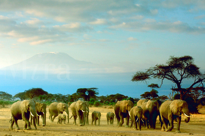 A herd of elephants walking through Amboseli Park, Kenya with Mount Kilimanjaro in the distance behind them.<br />