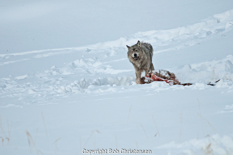 Yellowstone Wolf Photos