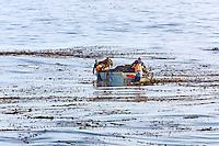 Kelp harvesting in Monterey Bay, California.