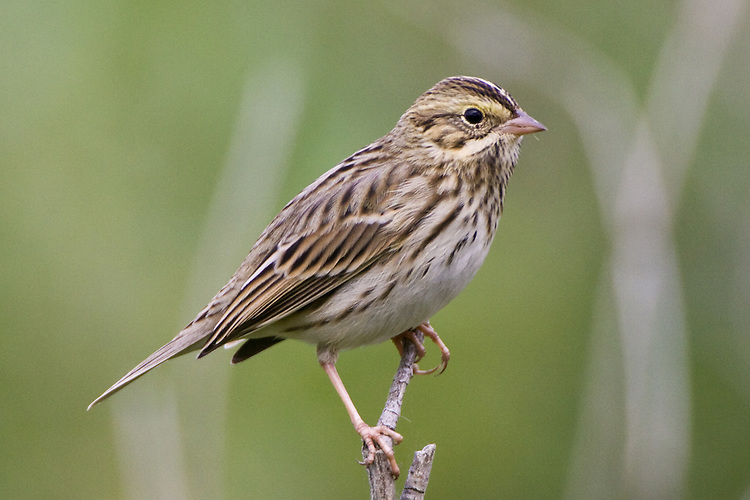 Savannah Sparrow perched on the end of a branch