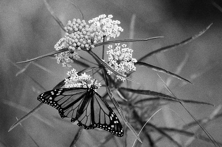 Butterfly, Ilford Delta Film
