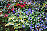 Hosta, Geranium Rozanne, Bergenia, Sambucus , blue Polemonium, hostas for beautiful planting combination of flowering plants and foliage planting of shady garden plants