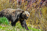 A Grizzly Bear pops out of the early spring bush in Northwest Wyoming.