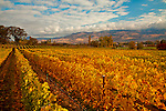 A cool fall morning in Talent, Oregon on the Ledger David vineyard during harvest time.