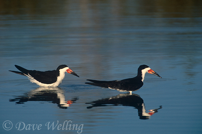 578613012 wild black skimmers rynchops niger bathe in a small pond at the salton sea national wildlife refuge in california