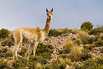 Vicuna (Vicugna vicugna) male, Abra Granada, Andes, northwestern Argentina