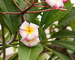 Plumeria blossoms on the grounds of the Tijuana Temple of The Church of Jesus Christ of Latter-day Saints (Mormon).