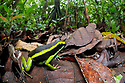 Three-striped Poison Frog (Ameerega trivittata) amongst leaf litter on lowland rainforest floor. Manu Biosphere Reserve, Amazonia, Peru. November.