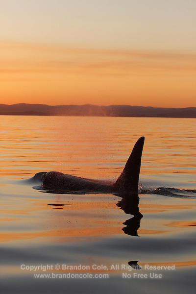 qd50219-D. Orca (Orcinus orca), adult male at sunset. Also called Killer Whale. Pacific Northwest..Photo Copyright © Brandon Cole. All rights reserved worldwide.  www.brandoncole.com..This photo is NOT free. It is NOT in the public domain. This photo is a Copyrighted Work, registered with the US Copyright Office. .Rights to reproduction of photograph granted only upon payment in full of agreed upon licensing fee. Any use of this photo prior to such payment is an infringement of copyright and punishable by fines up to  $150,000 USD...Brandon Cole.MARINE PHOTOGRAPHY.http://www.brandoncole.com.email: brandoncole@msn.com.4917 N. Boeing Rd..Spokane Valley, WA  99206  USA.tel: 509-535-3489
