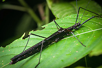 Stick Insect, Siquirres Costa Rica.