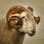 Close up of a Ram with large horns