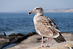 La Jolla, California; a juvenile Western Gull standing on the rocky shore overlooking the Pacific Ocean in late afternoon sunlight