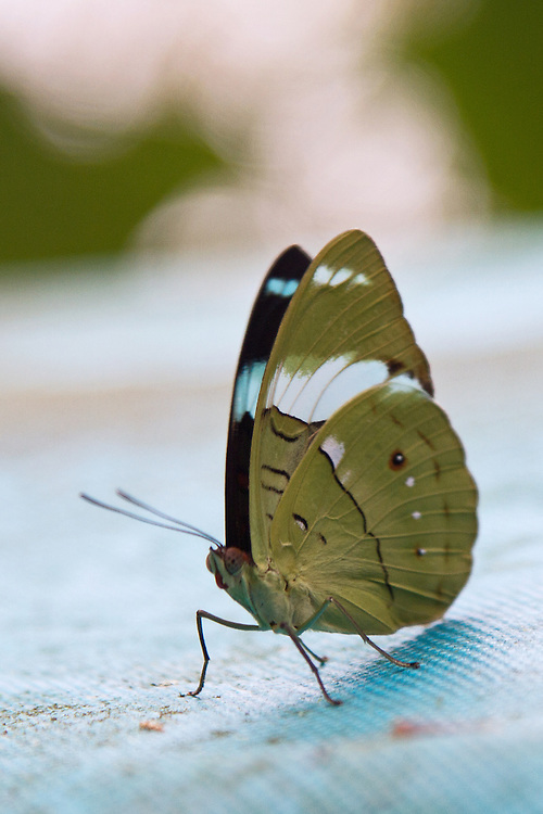 A beautifully marked Aglarua Olivewing, also named Green Back, sitting on blue cloth surface. The ventral markings and head stand out and there is a partial view of the brown and blue forewing.