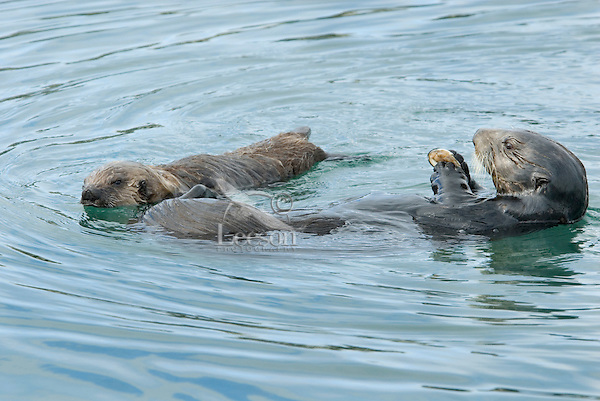 Sea Otter (Enhydra lutris) mom--eating clam--& pup.