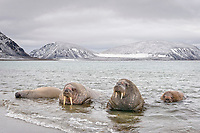 Atlantic walruses, Odobenus rosmarus rosmarus, lying in the water on the beach of Phippsoya island, Sjuoyane, Svalbard archipelago, Svalbard and Jan Mayen, Norway, Europe