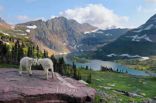 Mountain Goat (Oreamnos americanus) kids playing.  Glacier National Park, Montana.  Summer.